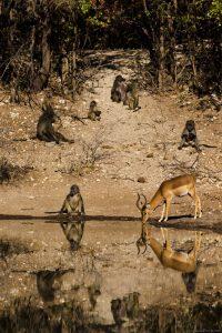 Baboon+Impala Drinking