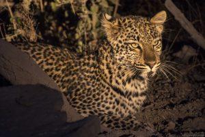 Baby Leopard Night