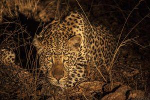 Leopard Night