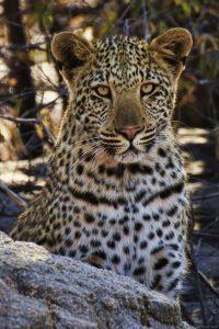 Leopard Rock2